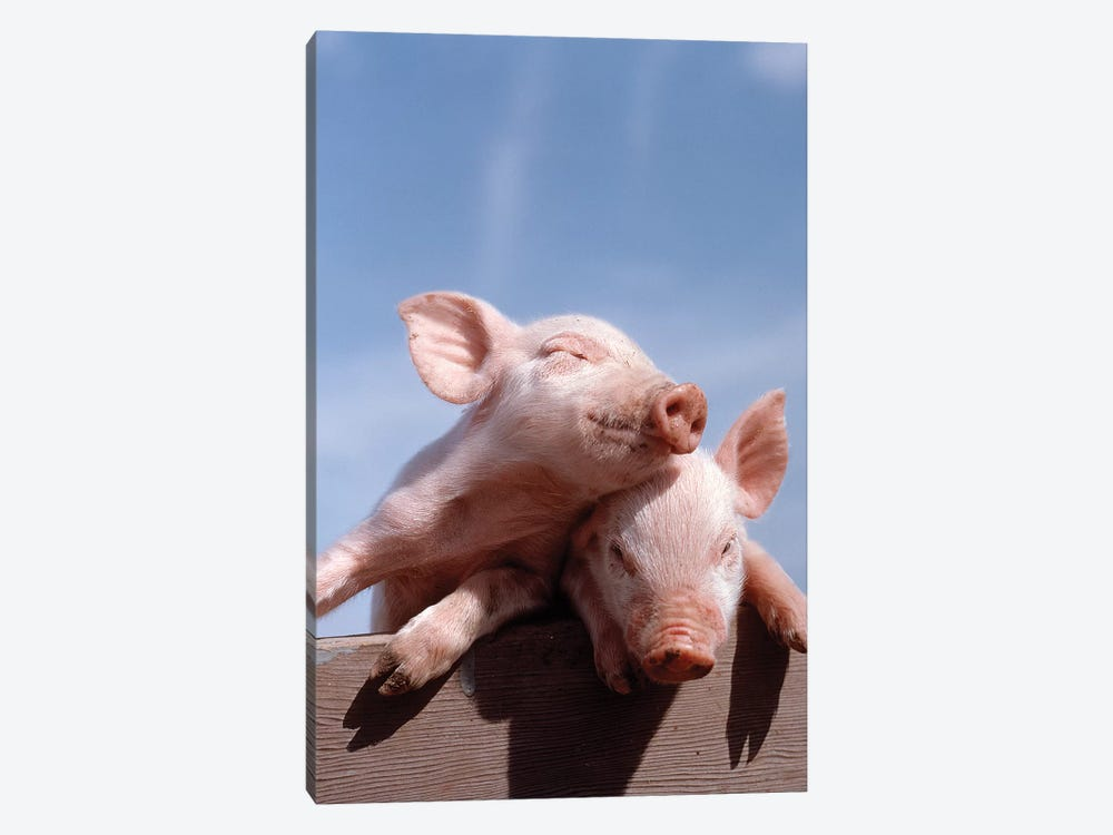 Two Piglets Leaning Against Each Other On Fence Rail by Vintage Images 1-piece Canvas Print