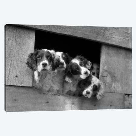 1920s-1930s Group Of English Setter Pups With Heads Sticking Out Of Opening In Kennel Looking At Camera Canvas Print #VTG66} by Vintage Images Canvas Art Print