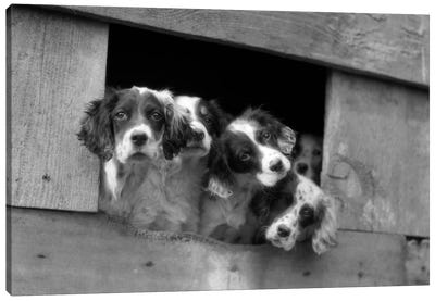 1920s-1930s Group Of English Setter Pups With Heads Sticking Out Of Opening In Kennel Looking At Camera Canvas Art Print