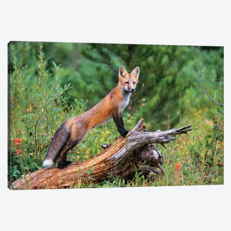 Red Fox Standing Confidently On A Log 3-Piece Canvas #VTG727} by Vintage Images Canvas Artwork