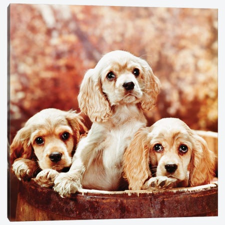 Three Blond Cocker Spaniel Puppies In A Barrel 3-Piece Canvas #VTG729} by Vintage Images Art Print