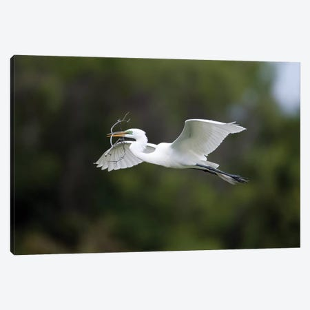 Great Egret Carrying Nesting Material, Florida Canvas Print #VZO10} by Tom Vezo Canvas Art