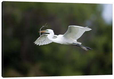 Great Egret Carrying Nesting Material, Florida Canvas Art Print