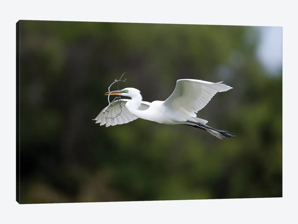 Great Egret Carrying Nesting Material, Florida by Tom Vezo 1-piece Art Print