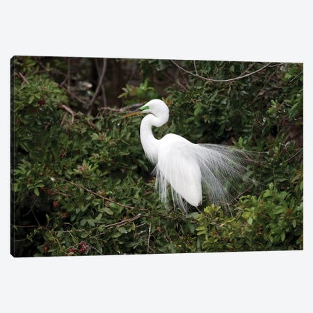 Great Egret Displaying During Courtship In Breeding Plumage, Florida Canvas Print #VZO11} by Tom Vezo Canvas Artwork