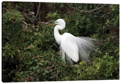 Great Egret Displaying During Courtship In Breeding Plumage, Florida Canvas Art Print