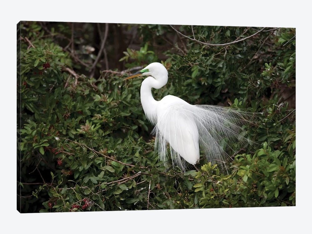 Great Egret Displaying During Courtship In Breeding Plumage, Florida by Tom Vezo 1-piece Canvas Artwork