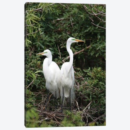 Great Egret Pair In Nest In Breeding Plumage, Florida Canvas Print #VZO12} by Tom Vezo Canvas Wall Art