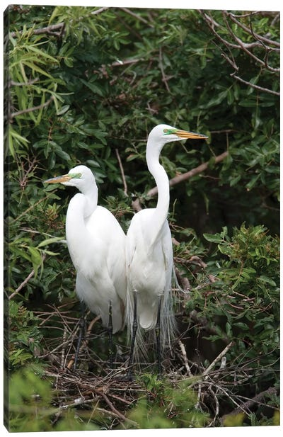 Great Egret Pair In Nest In Breeding Plumage, Florida Canvas Art Print