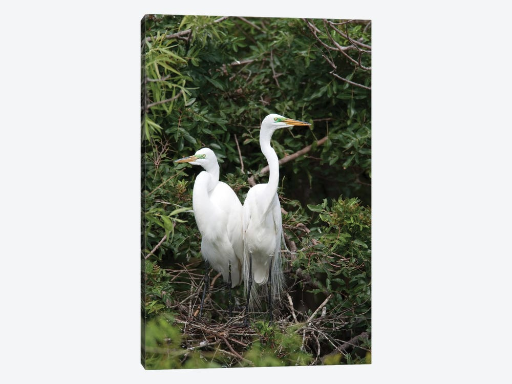 Great Egret Pair In Nest In Breeding Plumage, Florida by Tom Vezo 1-piece Canvas Art Print