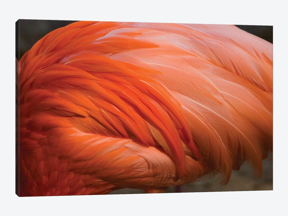 Greater Flamingo Close Up Of Feathers, San Diego Zoo, California by Tom Vezo 1-piece Canvas Wall Art