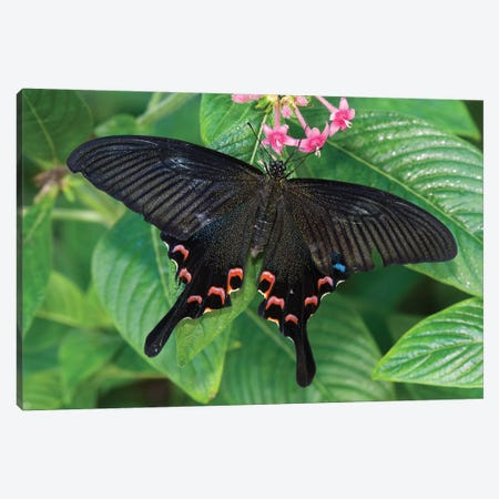 Luzon Peacock Swallowtail Butterfly, Tucson Botanical Gardens, Tucson, Arizona Canvas Print #VZO14} by Tom Vezo Art Print