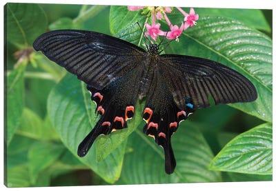 Luzon Peacock Swallowtail Butterfly, Tucson Botanical Gardens, Tucson, Arizona Canvas Art Print