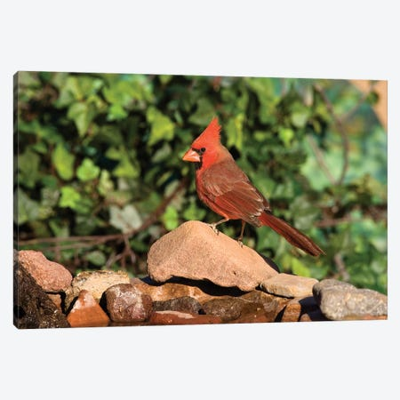 Northern Cardinal Male, Santa Rita Mountains, Arizona Canvas Print #VZO15} by Tom Vezo Canvas Print