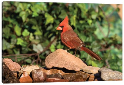 Northern Cardinal Male, Santa Rita Mountains, Arizona Canvas Art Print