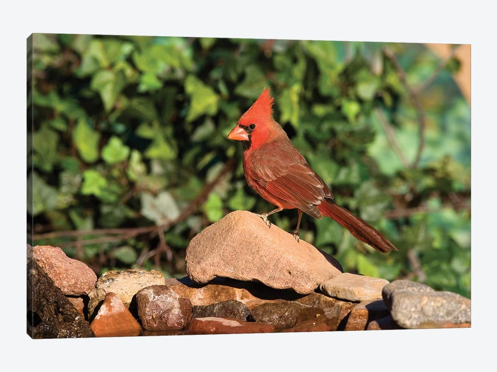 Northern Cardinal Male, Santa Rita Mountains, Arizona by Tom Vezo 1-piece Canvas Art
