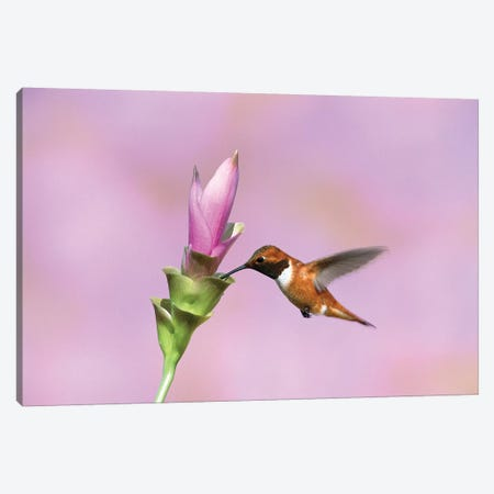 Rufous Hummingbird Male Feeding At Flower, Green Valley, Arizona Canvas Print #VZO16} by Tom Vezo Canvas Print