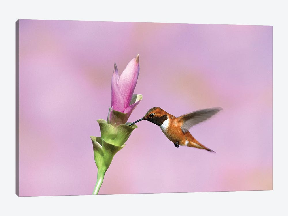 Rufous Hummingbird Male Feeding At Flower, Green Valley, Arizona by Tom Vezo 1-piece Canvas Art Print