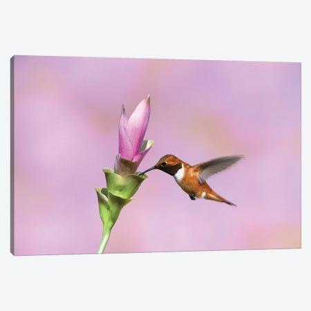 Rufous Hummingbird Male Feeding At Flower, Green Valley, Arizona Canvas Print #VZO16} by Tom Vezo Canvas Print