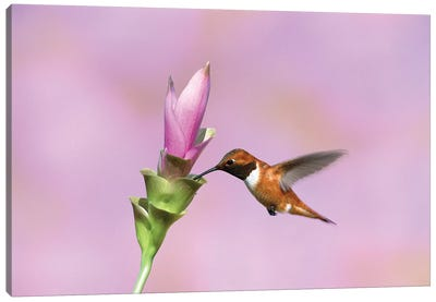 Rufous Hummingbird Male Feeding At Flower, Green Valley, Arizona Canvas Art Print