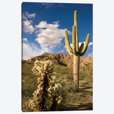 Saguaro Cactus In Desert, Arizona Canvas Print #VZO17} by Tom Vezo Canvas Print