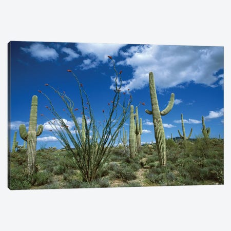Saguaro Cactus, Ocotillo Cactus, And Cholla Prickly Pear Canvas Print #VZO18} by Tom Vezo Canvas Wall Art
