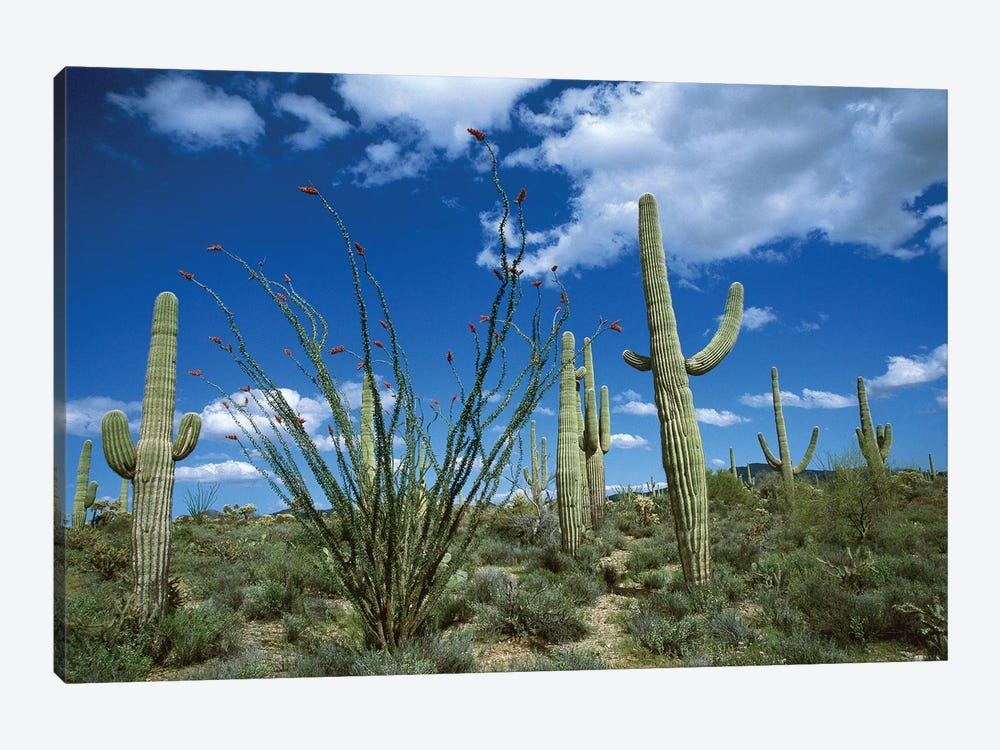 Saguaro Cactus, Ocotillo Cactus, And Cholla Prickly Pear by Tom Vezo 1-piece Art Print