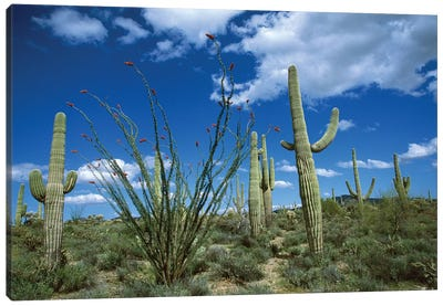 Saguaro Cactus, Ocotillo Cactus, And Cholla Prickly Pear Canvas Art Print