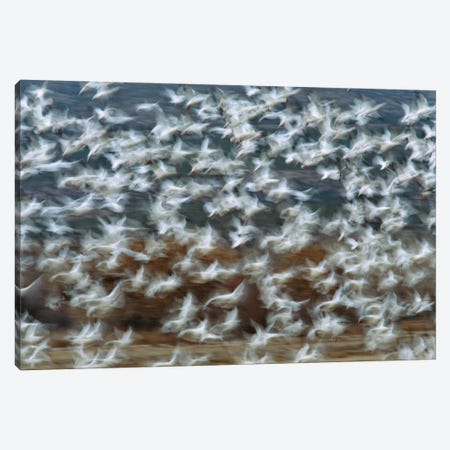 Snow Goose Flock Taking Flight, Bosque Del Apache National Wildlife Refuge, New Mexico I Canvas Print #VZO19} by Tom Vezo Canvas Art
