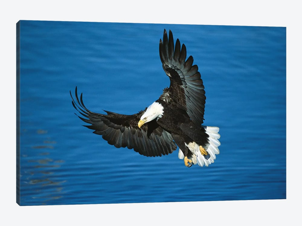 Bald Eagle Flying Over Water, Kenai Peninsula, Alaska by Tom Vezo 1-piece Canvas Artwork