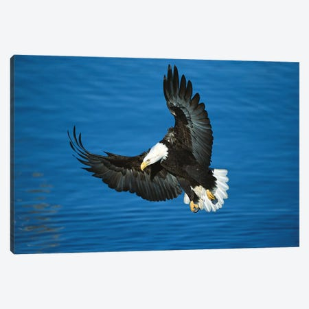 Bald Eagle Flying Over Water, Kenai Peninsula, Alaska Canvas Print #VZO1} by Tom Vezo Art Print