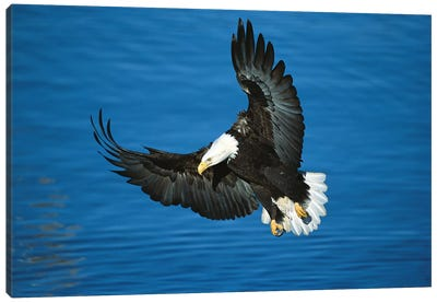 Bald Eagle Flying Over Water, Kenai Peninsula, Alaska Canvas Art Print