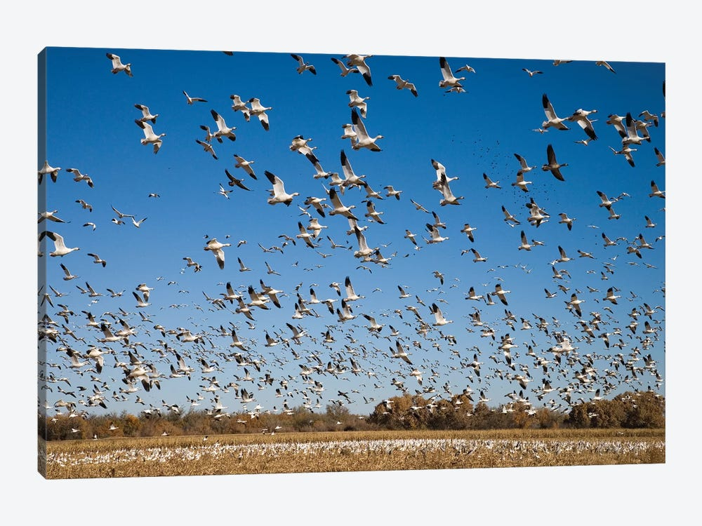 Snow Goose Flock Taking Flight, Bosque Del Apache National Wildlife Refuge, New Mexico II 1-piece Canvas Artwork