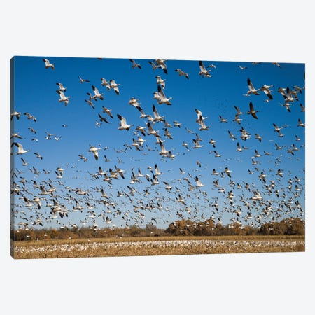 Snow Goose Flock Taking Flight, Bosque Del Apache National Wildlife Refuge, New Mexico II Canvas Print #VZO20} by Tom Vezo Art Print