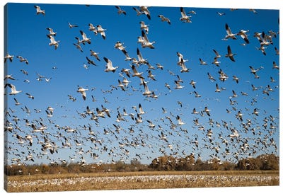 Snow Goose Flock Taking Flight, Bosque Del Apache National Wildlife Refuge, New Mexico II Canvas Art Print