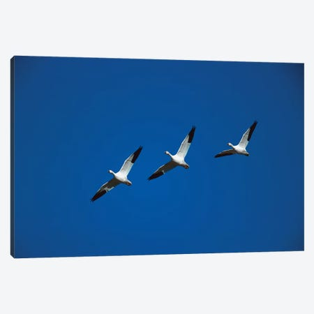 Snow Goose Trio Flying In Line Formation, Bosque Del Apache National Wildlife Refuge, New Mexico Canvas Print #VZO21} by Tom Vezo Canvas Print