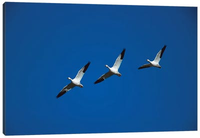 Snow Goose Trio Flying In Line Formation, Bosque Del Apache National Wildlife Refuge, New Mexico Canvas Art Print