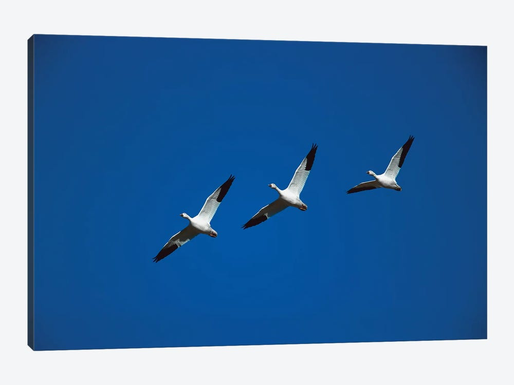 Snow Goose Trio Flying In Line Formation, Bosque Del Apache National Wildlife Refuge, New Mexico by Tom Vezo 1-piece Art Print