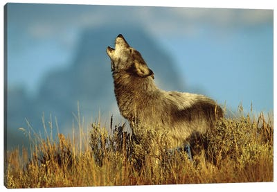 Timber Wolf Adult Howling, Teton Valley, Idaho Canvas Art Print