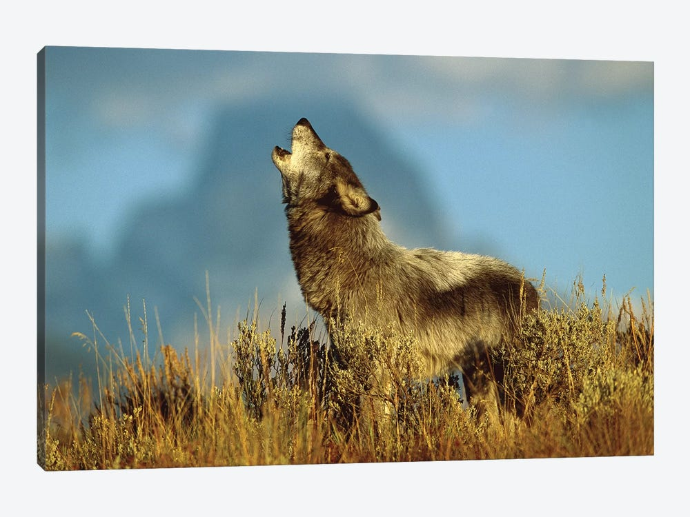 Timber Wolf Adult Howling, Teton Valley, Idaho by Tom Vezo 1-piece Canvas Artwork