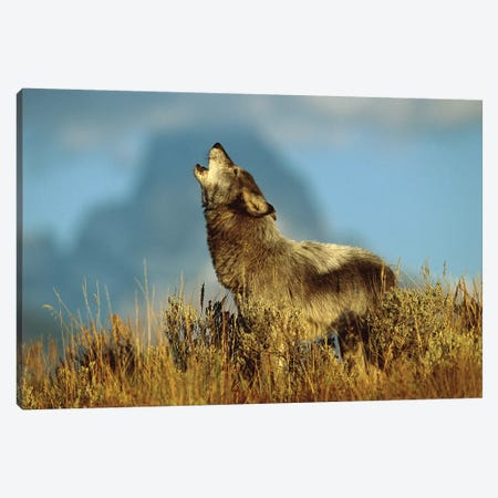 Timber Wolf Adult Howling, Teton Valley, Idaho Canvas Print #VZO22} by Tom Vezo Art Print