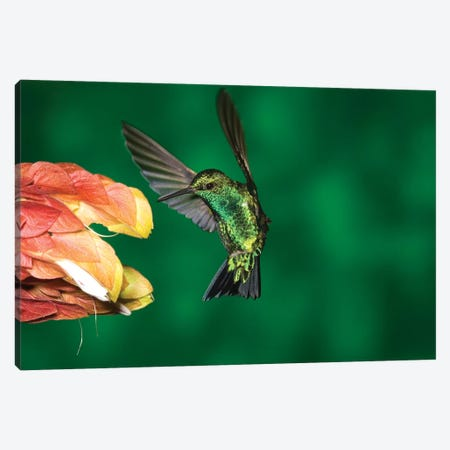 Western Emerald Hummingbird Feeding On Flower, Andes, Ecuador Canvas Print #VZO23} by Tom Vezo Art Print