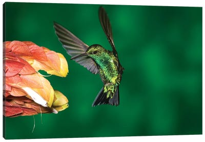 Western Emerald Hummingbird Feeding On Flower, Andes, Ecuador Canvas Art Print