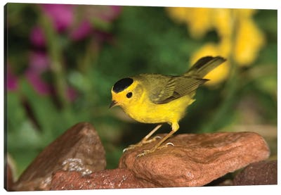 Wilson's Warbler Male, Rio Grande Valley, Texas Canvas Art Print