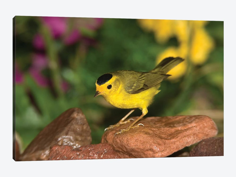 Wilson's Warbler Male, Rio Grande Valley, Texas by Tom Vezo 1-piece Canvas Wall Art