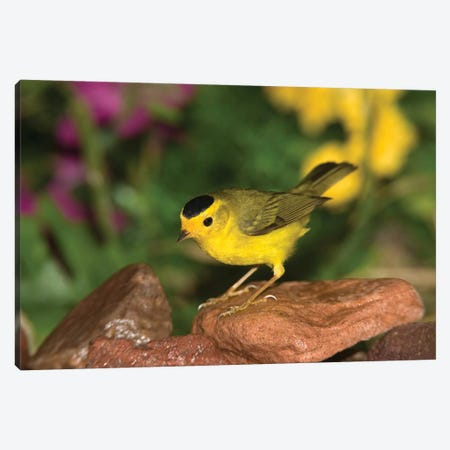 Wilson's Warbler Male, Rio Grande Valley, Texas Canvas Print #VZO24} by Tom Vezo Canvas Artwork