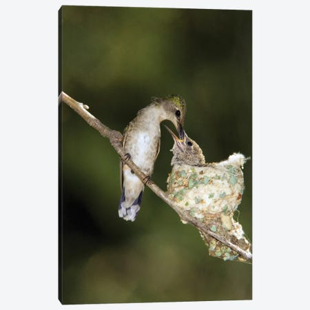Black-Chinned Hummingbird Parent Feeding Chick In Nest, North America Canvas Print #VZO3} by Tom Vezo Canvas Print