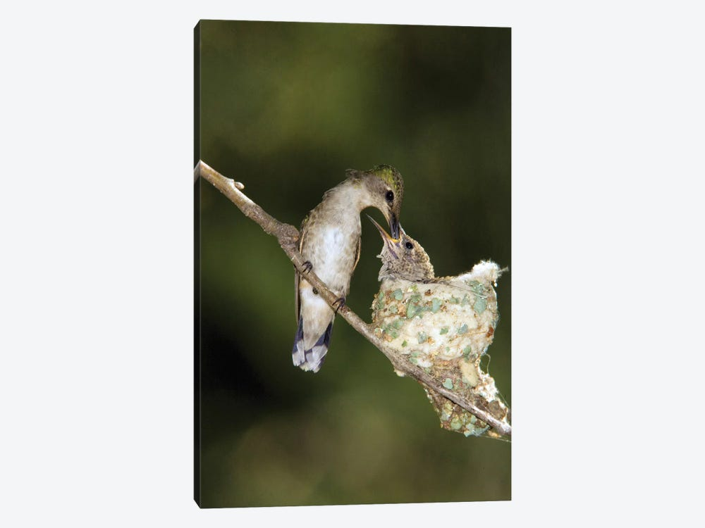 Black-Chinned Hummingbird Parent Feeding Chick In Nest, North America by Tom Vezo 1-piece Canvas Art