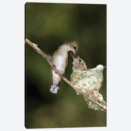Black-Chinned Hummingbird Parent Feeding Chick In Nest, North America Canvas Print #VZO3} by Tom Vezo Canvas Print