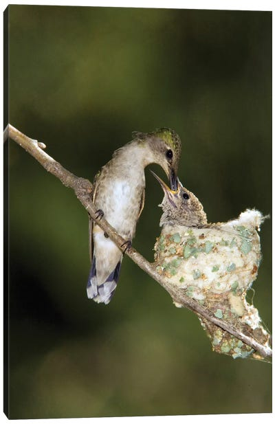 Black-Chinned Hummingbird Parent Feeding Chick In Nest, North America Canvas Art Print